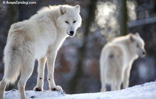 ضرب المثل عاقبت گرگ زاده گرگ شود